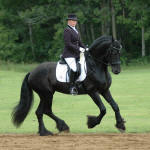 Mago of Carisbrooke-Friesian stallion