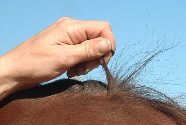 Friesian Sport Horse & Heritage Horse DNA & Hair Samples