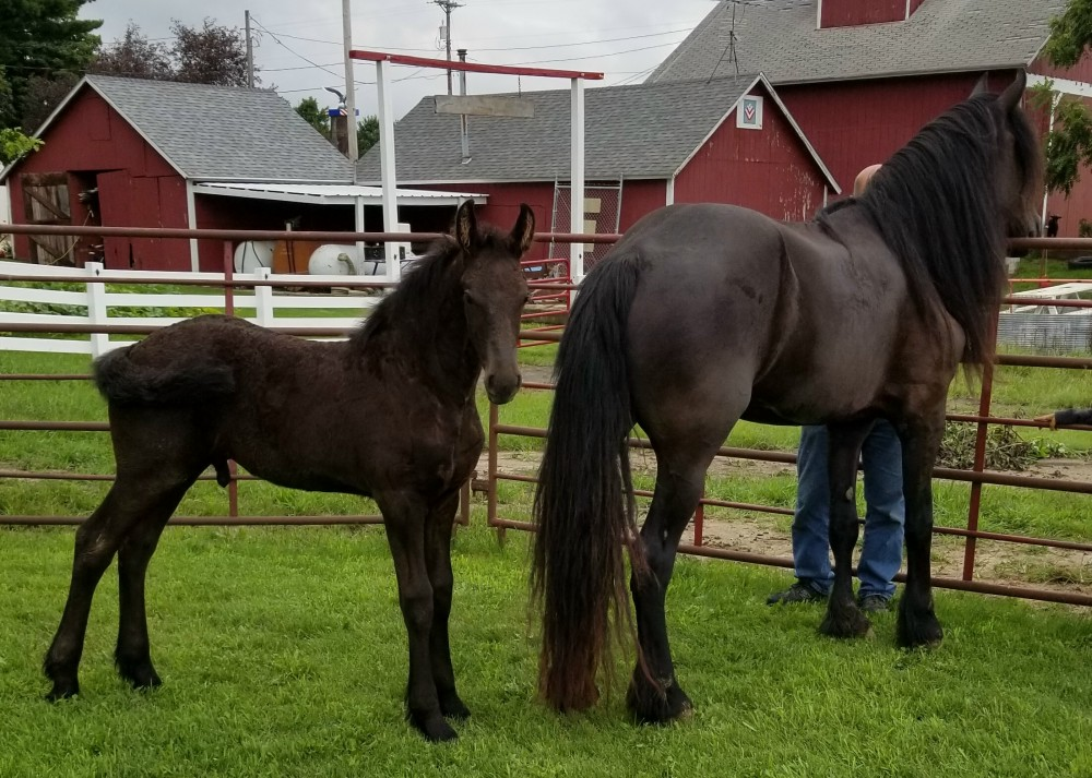 Friesian & Friesian Crossbreds for sale1000 x 713 jpeg 247kB