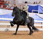 Friesian Stallion Dash Rip Rock & Laurie Statam August 2012