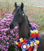Friesian Heritage Horse-Bentley at IFSHA Regionals