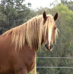 Patron Viho-A rare red color with a flaxen mane..Friesian/Percheron-Owned by Carol Ann Gonyo