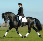 Arabo Friesian Stallion- L Dark Laes.  Contact The Friesian Ranch