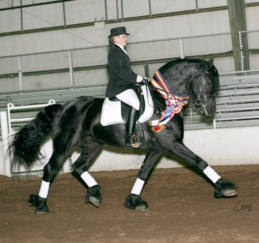 Friesian stallion Zorro