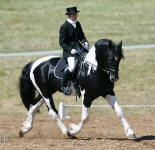 Orca Friesian Heritage Sport Horse Stallion. Owned by Lori Stewart