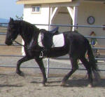 Kali Friesian mare owned by Black Horse Equestrian